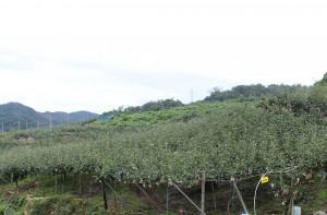 鳥取 二十世紀梨