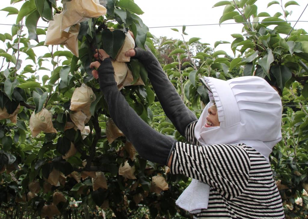 鳥取 二十世紀梨 収穫