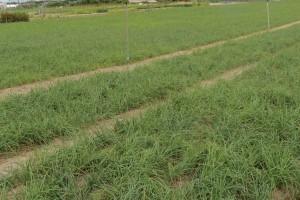 鳥取 玉らっきょう 畑