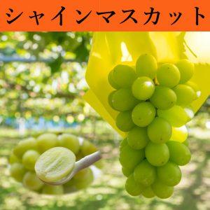 シャインマスカット,糖度20度,鳥取,北栄町